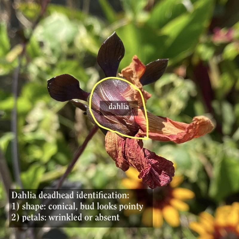 Deadheading a dahlia 1