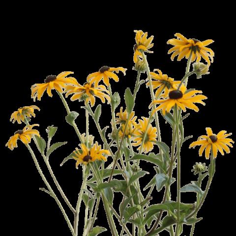 Rudbeckia Goldsturm