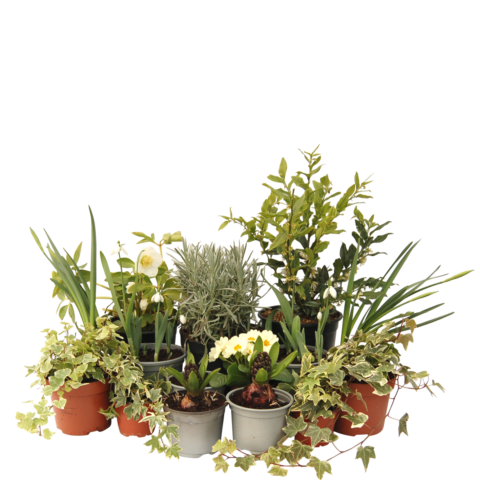 The Promise - selection of plants