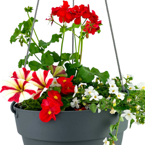 The Candy Cane - Hanging basket