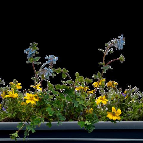 The Alban - Window box