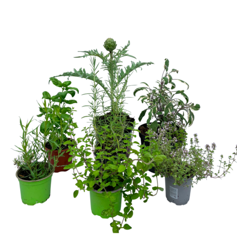 The Med - Selection of plants
