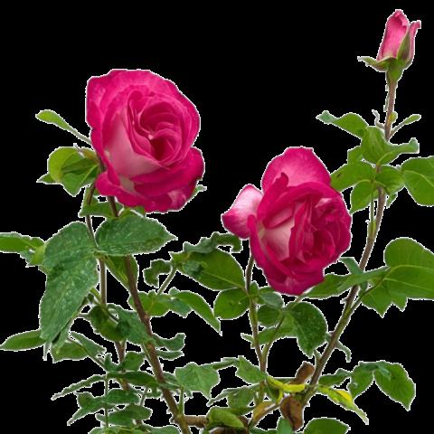 Rose 'Gaujard'