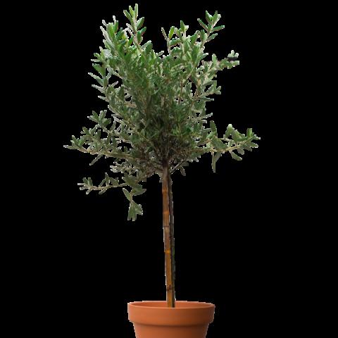 Olive tree - 1.8m