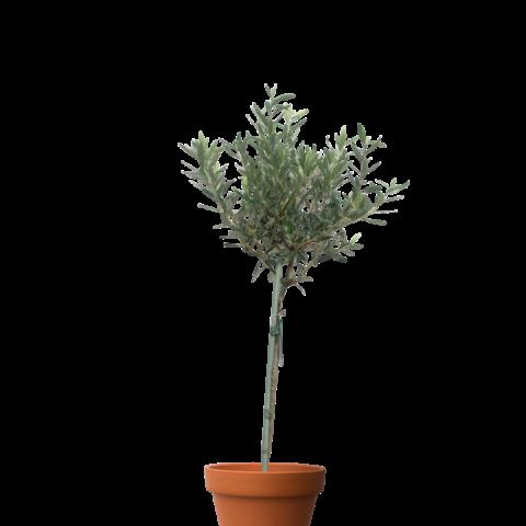 Olive tree - 1.2m