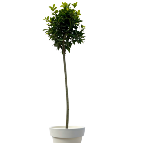 Bay tree