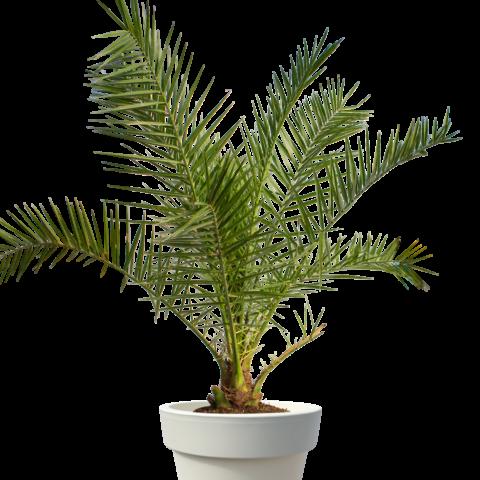 Canary island date palm 1.7m